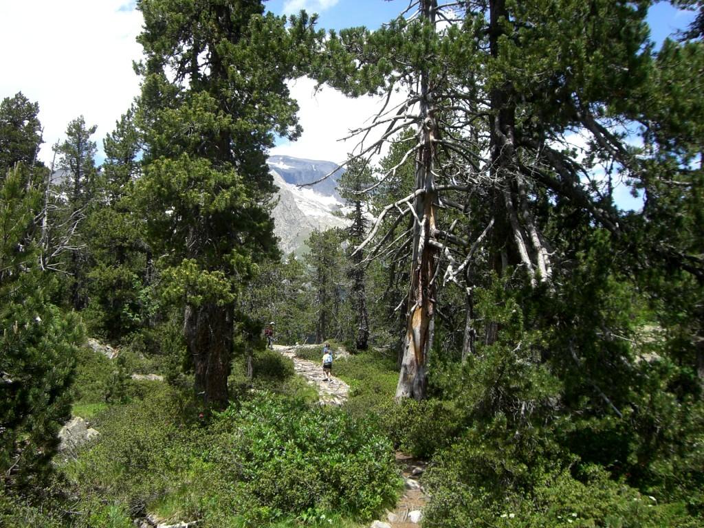 Sendero entre pinos negros