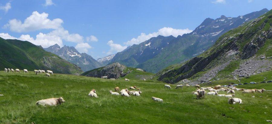 Vacas pastando en el circo de Aneou